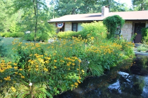 Black eyed Susans front of house