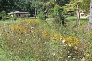 House -ditch Black Eyed Susans