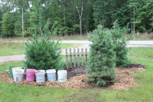 Picket fence pines newly planted USE