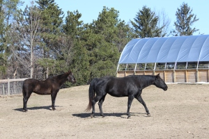 Two black horses use