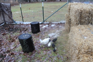 Chickens =logs-straw USE