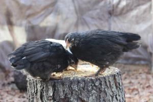 Two balck chiks pecking