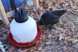 Drinking out of red waterer