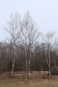 Three Birches USE