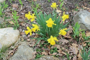 Daffodils three rocks USE