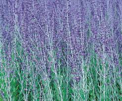 iRussian sage purple masses