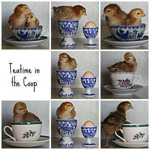 Teatime in the coop w text collage jpeg