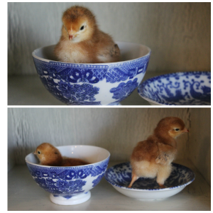 Top bottom chicks day 4 blue dishes jpeg
