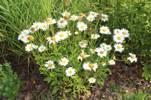 White daisy's bunch