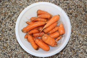 Carrots close use