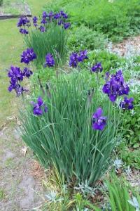Japanese iris USE