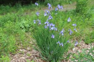 Karens lavender Japenes iris USE