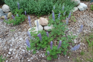 Lupines stones nice USE