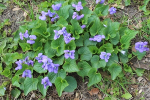 Patch of violets USE