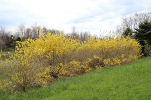 Row of yellow waukeena