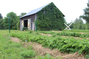 Berries forground Barn in rear
