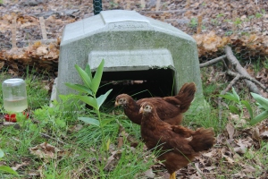 Chicks and dog kennel USE