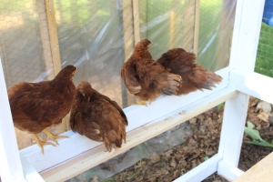 Close pullets on frame USE