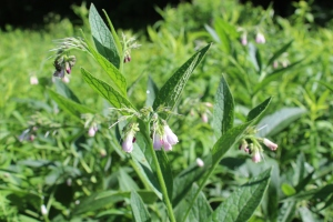 Comfrey close USE