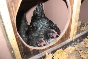 Freckles and Sweet pea in the nesting box