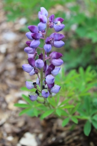 Lupine really close USE