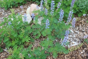 Lupines and leaves in the landscape