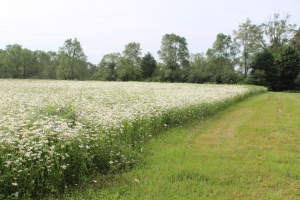Row of Oxeye Daisy's USE
