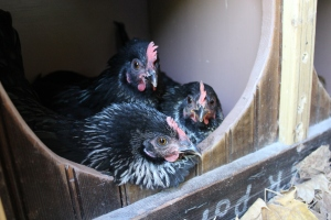 Three Amigoes in nest box