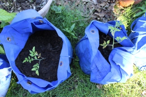 Two grow bags aiwht tomatoes