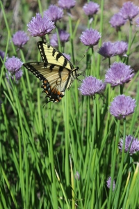 VERT swollowtail on chives USE