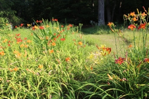 Daylilies and meadow path USE