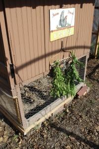 Herbs hanging on old rake USE