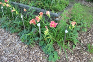 Pnik daylilies close Lupine greens show corner