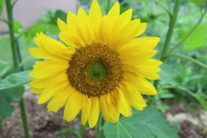 Sunflower straight on