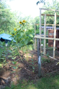 VERT sunflowrs and new run frame July