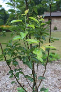 new growth on peach tree USE