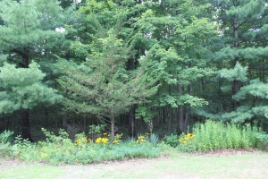 North Tree line and Black eyed Susans