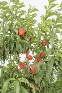 Peaches in trees USE