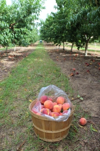 Peaches low in orchard USE FIRST