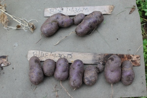 Purple potatoes close