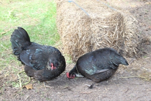 Two black Cochins USE
