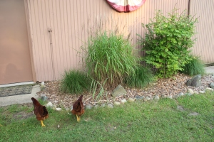 Two chickens at barn