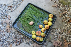 Apples egg chives todays harvest