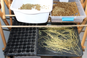 Chives and barley for chickens