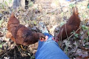 Rhodies pecking on top of leg