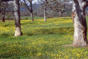 Oak Savvanah with flowers underneath