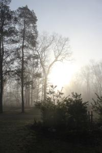 Woods pines fog
