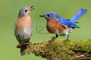 9420917-pair-of-eastern-bluebird-sialia-sialis-on-a-log-with-moss[1]
