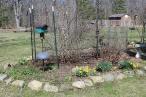 Daffodils in bloom in bird bed USE