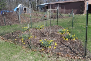 Daffodils in triangle under fruit tree USE